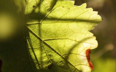 Vendanges 2016 : les vignerons naturels sont-ils plus fragiles face aux aléas de la nature ?